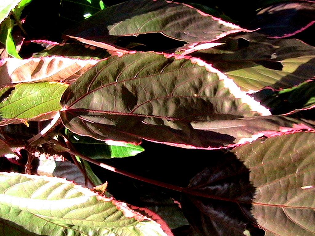 Les arbres de mon pays 86 feuille rouge acalypha nature - Plante a feuilles rouges ...